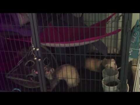 The Greatest Ferret Cage (Ferret Nation Cage) And Playpen  MUST SEE