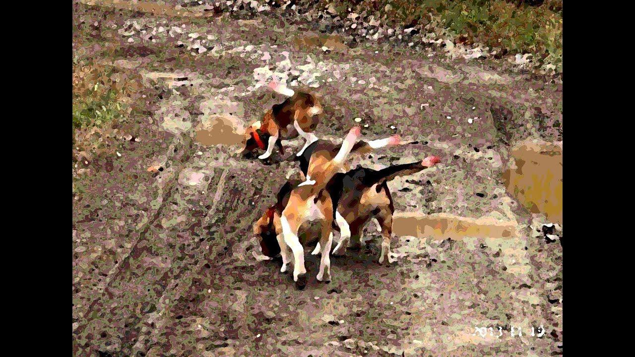 Beagle hunting - photo#20