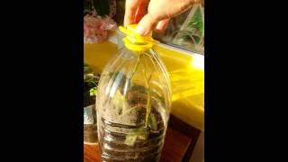 видео Черенкование роз в домашних условиях