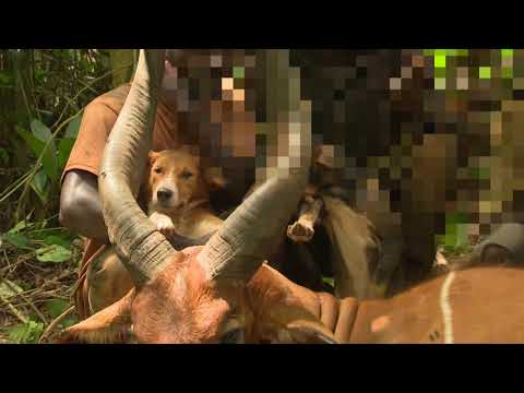 Bongo Hunt  Cameroon