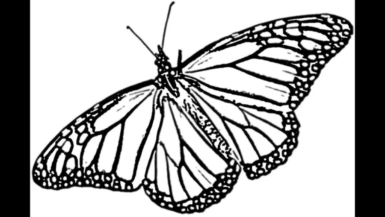 Line Drawing Of Butterfly : Monarch butterfly drawing