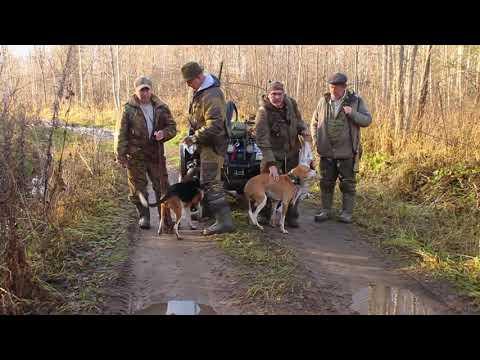 Охота с эстонскими и швейцарскими гончими 2020