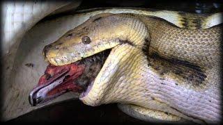 Python Eats Duck 01 - Snake Kills Bird