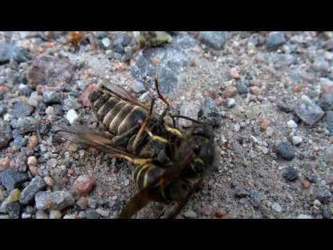 Wasp slays horse fly, then gets robbed!