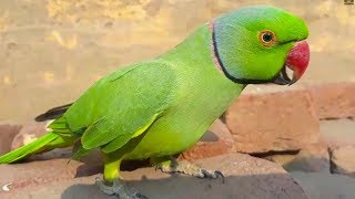 Cute Parrots On Bricks And Talking