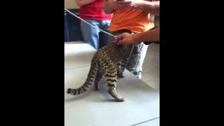 Smallest Spotted Cat!