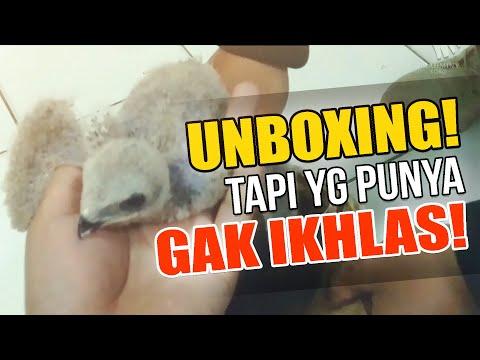 ALAP ALAP TIKUS | BLACK WINGED KITE | UNBOXING #1 UNBAKULING NGAKAKk