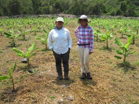 Vitazyme en banano o plátano fruta con Ing  Sara Pérez de Tropical Organic Growers en Tecomán, Colim