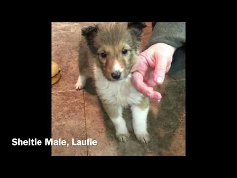 Sheltie Male Reserved