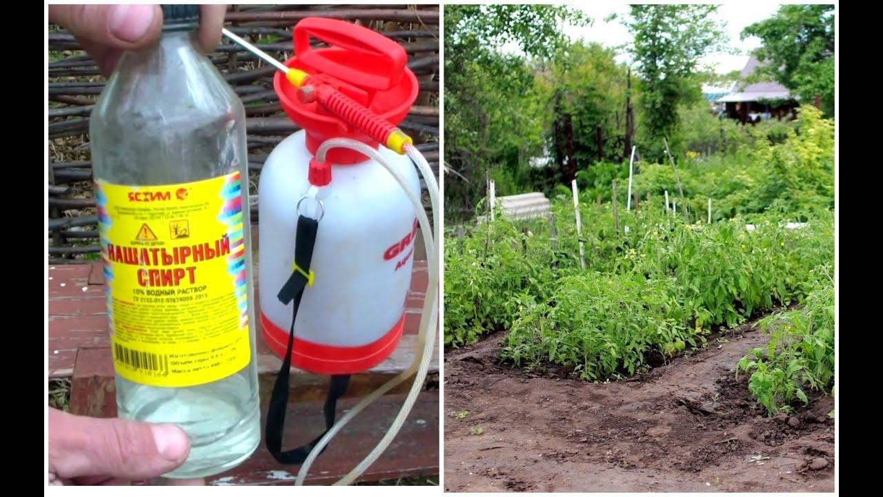 Нашатырный спирт - лучшая подкормка и избавления от вредителей для растений.  Аммиак- творит чудеса!