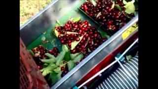 Сбор урожая черешни