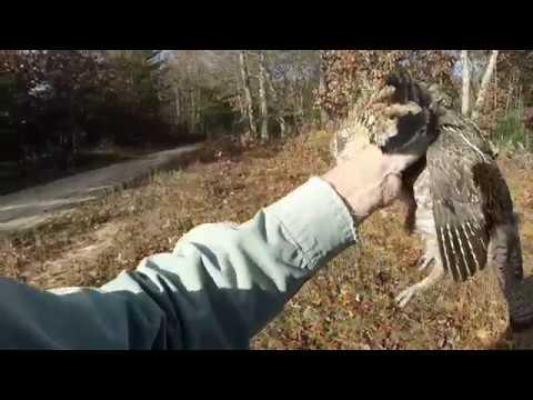Ruffed Grouse Hunting Michigan Nov 2016