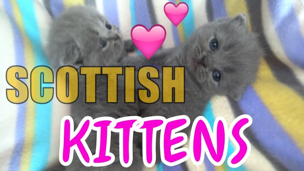 Mèo anh lông ngắn 1 tháng tuổi ở Cửa hàng thứ cưng Long An LoHa Pet Shop - Scottish Kitten cutest