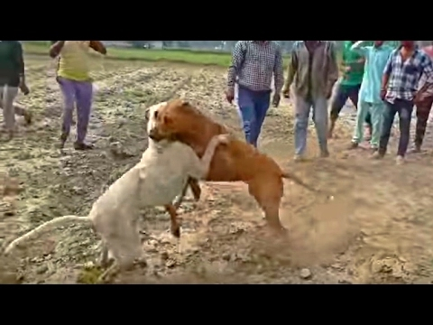 dogo-argentino-vs-boerboel---highlights-badass-dogs