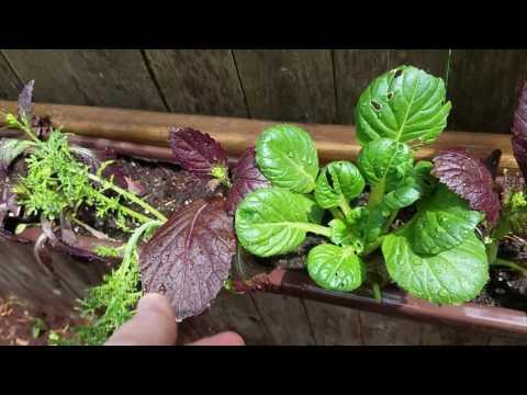 Backyard organic garden tour: 1 month after planting