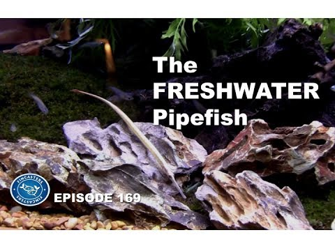 Freshwater Pipefish. Expert Advice!  Fincasters Episode 169