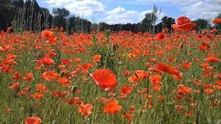 Такое Сейчас Редко Увидишь. Красные маки - Самые Красивые Полевые Цветы!