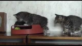 Котята породы курильский бобтел.mp4