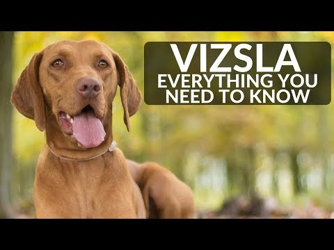 Vizsla 101 - Everything You Need To Know About Owning A Vizsla Puppy