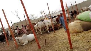 Cow Mandi 2016 | Maweshi Mandi 2016 | Sohrab Goth Super Highway | Update of Block 8