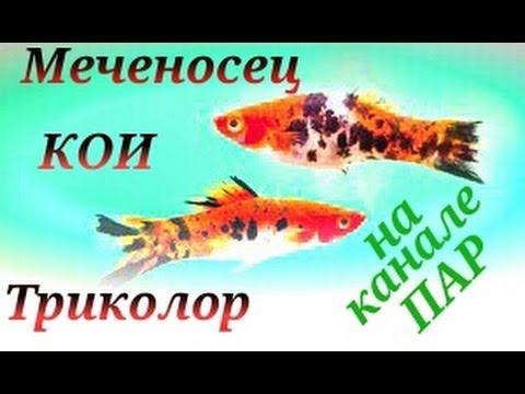 Аквариумные рыбки.Меченосец Кои. Трехцветный Меченосец