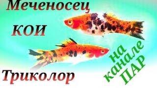 Аквариумные рыбки.Меченосец Кои. Трехцветный Меченосец(, 2016-08-30T20:34:52.000Z)