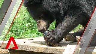 Rescuing bears from bile farms in Vietnam