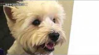 West Highland Terrier (www.porady.tv)