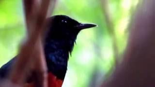 Repeat youtube video Wild Shama singing เสียงนกกางเขนดงร้องในป่า 2/2