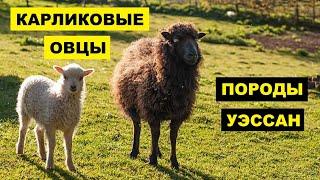 Разведение овец карликовой породы как бизнес идея | Овцеводство | Карликовые овцы уэссан
