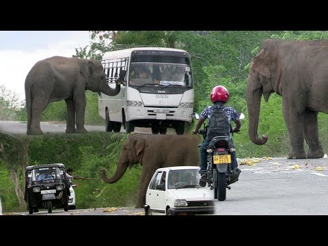 Wild elephants waiting for food !
