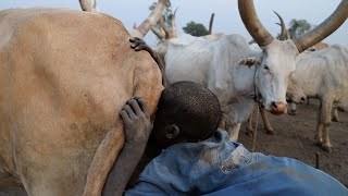 La técnica africana para ordeñar vacas | Mundari Parte 2 🇸🇸