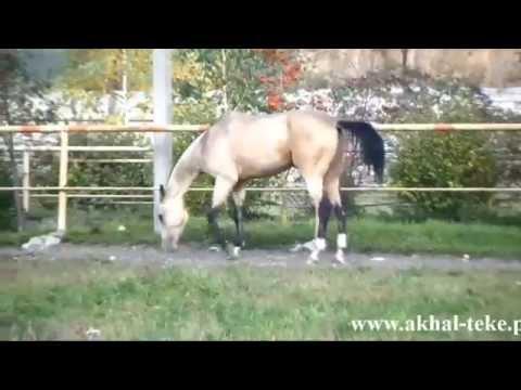 Safkan Türk Atı Ahal Teke