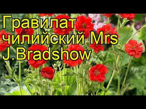 Гравилат чилийский Мисис Дж.Брэдшоу. Краткий обзор, описание geum chiloense Mrs J.Bradshow