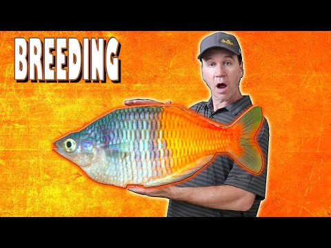 How To Breed Bosemani Rainbow Fish And Raise Their Fry