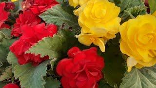 как посеять БЕГОНИЮ КЛУБНЕВУЮсажать посадить семенами бегония клубневая цветок