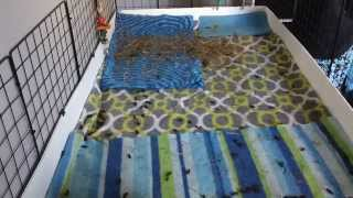 How I Clean My Guinea Pig Cage