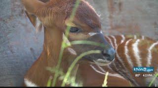Baby bongo antelope on display at Honolulu Zoo thumbnail