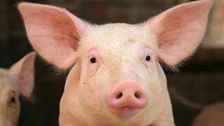 【世界衝撃ニュース】ヴィーガンが養豚場に押し入り抗議 子豚2匹がショック死、イヤホンで音楽を聞きながら眠った少年 突発性難聴に - トモニュース