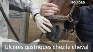 Attention, votre cheval ou poney est peut-être atteint d'ulcères gastriques ?