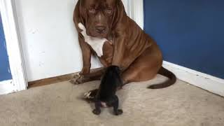 Giant family 180lbs pit bull THE HULK plays with tiny puppy 💕💕 SO CUTE!