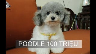 [DOG REVIEW] Poodle - Những thiên thần có đuôi / Hùng Chó Channel