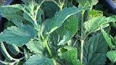 Nanish pokrzywa do podawania roślin. Aplikacja. Jak nawóz z pokrzywy do karmienia roślin