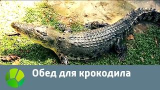 Обед для крокодила | Живая Планета