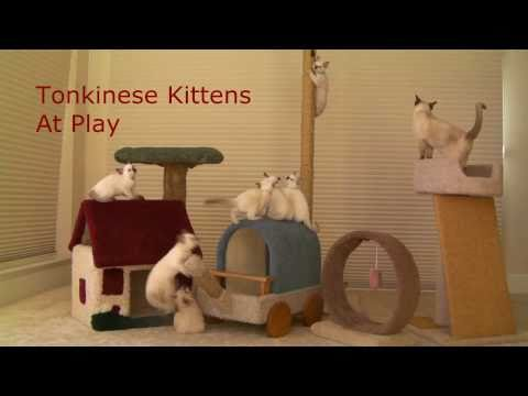 Tonkinese kittens play & train for Olympic Gymnasticats