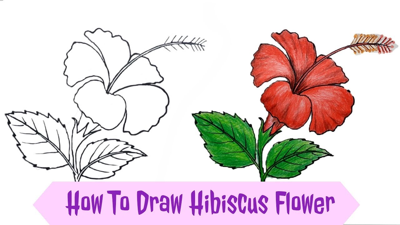 Hibiscus Flower Drawing: How To Draw Hibiscus Flower / China Rose Step By Step