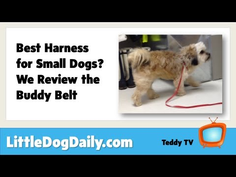 A Dog Harness for Small Dogs: Is Buddy Belt the Best?