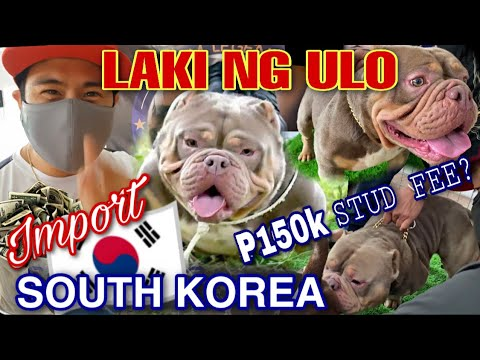 MAS MALAKI PA ULO NIYA SA TAO! IMPORT NORTH KOREA EXOTIC BULLY | OPEN FOR STUD | PART 2