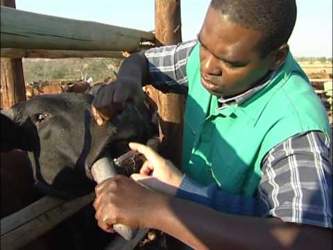 African Buffalo: A major eco-tourism attraction but also a carrier of serious diseases (Part 2)