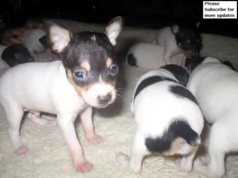 Dog Fox Terrier Puppy | Picture Ideas Of Terrier Dog Breed And ...